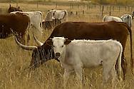 Longhorn Cattle, Bull with herd