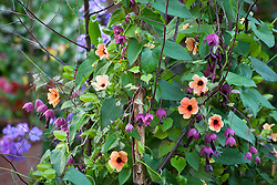 Rhodochiton atrosanguineus 'Purple Bells' (Purple bell vine) growing up a birch tripod with Thunbergia alata 'African Sunset'