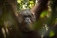 Portait of a wild, dominant male Bornean orangutan (Pongo pygmaeus) through foilage in Tanjung Puting National Park, Indonesia.