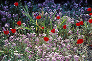 Wild Flower Field, Meadow, with white flowers and red poppies, soft and vibrant colours