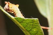 Puss moth (Cerura vinula) early instar caterpillar on willow. Surrey, UK.