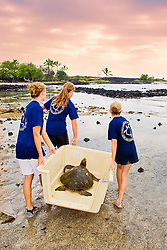 Students from Hawaii Preparatory Academy (HPA) releasing Green Sea Turtle, Chelonia mydas, after the extensive examination and tagging & marking process for the US Marine Turtle Research, organized by researcher George Balazs PhD., NOAA National Marine Fisheries Service (NMFS), HPA students and teachers (NOAA/HPA Marine Turtle Program), and ReefTeach volunteers at Kaloko-Honokohau National Historical Park, Kona Coast, Big Island, Hawaii, USA, Pacific Ocean