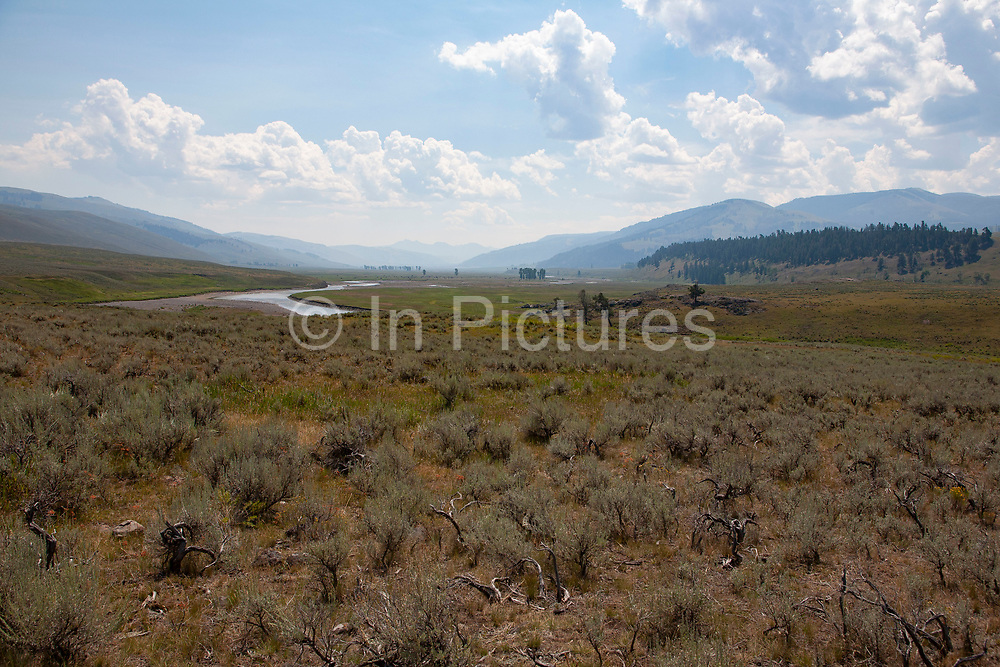 Cottonwood trees in the distance in the wide floor of the Lamar Valley, Yellowstone National Park, Wyoming. Wild sweet Sage covers the valley floor as it does much of the park.
