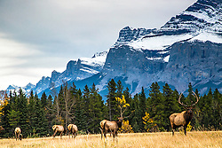 Bull elk and his harem at Cascade Meadows in Banff National Park.
