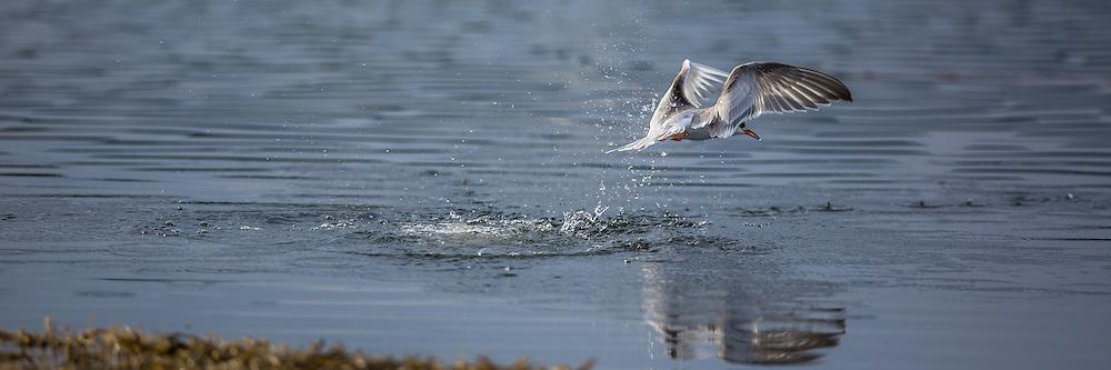 Terne i flukt | Escaping Tern