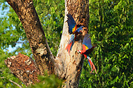A pair of Scarlet Macaws (Ara macao) have a playful interaction clinging to the side of a tree in Golfo Dulce, Costa Rica.
