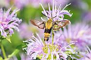 04005-00417 Snowberry Clearwing (Hemaris diffinis) on Wild Bergamot (Monarda fistulosa) Marion Co. IL