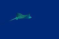 Spotted Eagle Ray, Aetobatus narinari, (Euphrasen, 1790), Grand Cayman