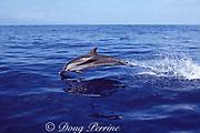 striped dolphin, Stenella coeruleoalba, Azores Islands, Portugal ( North Atlantic Ocean )