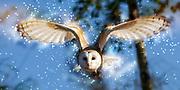 Digitally enhanced image of a barn owl (Tyto alba) in flight