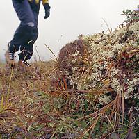 A hiker walks through lichens & moss in mountain tundra.