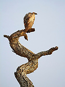 Vulture observing the area from the top of a dead tree. <br /> Serengeti National Park, Tanzania, Africa
