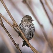 Pine Siskin, (Carduelis pinus) Lone bird clings to leafless branch of bush. Winter.