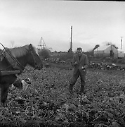 Lead Mines at Loughrea..1962..08.01.1962..01.08.1962..8th January 1962..Prospecting started in Loughrea in what is thought to be lead deposits beneath the lands of several small farms in the area...Image shows Mr Frank Regan, at work in one of his fields. He is checking the quality of the swedes, growing, there, turnip, crop