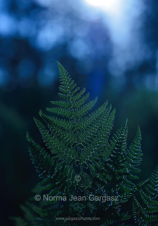 Ferns grow on Mount Lemmon following the Aspen Fire, Sonoran Desert, Coronado National Forest, Santa Catalina Mountains, Arizona, USA.