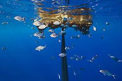 Bigeye jacks, Caranx sexfasciatus, and brown chubs or grey sea chubs, Kyphosus bigibbus, aggregating around abandoned fishing net offshore, Kona Coast, Big Island, Hawaii, Pacific Ocean