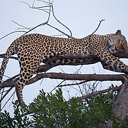 African leopard sleeping in a tree, MalaMala Game Reserve, South Africa