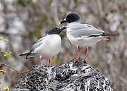 A pair of swallow-tailed gulls (Creagrus furcatus) on sea cliffs at their nesting site near Playa Ochoa. Swallow-tailed gulls are the only known nocturnal gulls. San Cristóbal, Galapagos, Ecuador.