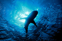 Silhouette of a Caribbean Reef Shark, Carcharhinus perezi, over coral reef, West End, Grand Bahamas, Atlantic Ocean