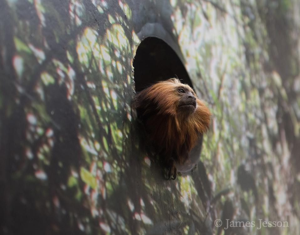 tamarin monkey photograph