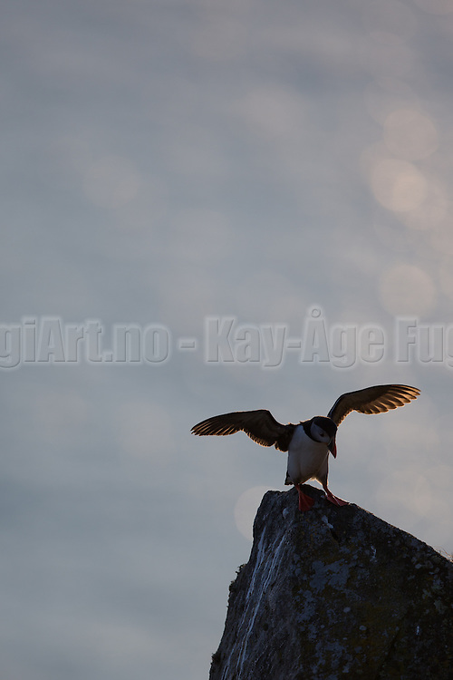 Lundefugl fakser med vingene i Lundeura, Runde   Puffin flapping wings at Lundeura, Runde, Norway.