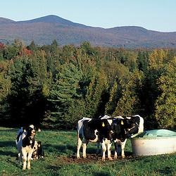 Barton, VT..Northern Forest dairy farm.  Holstein cows.  Northern Green Mountains.
