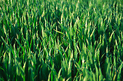 AF5CP5 Young shoots of arable crop in a field Suffolk England