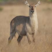 Waterbuck, Adult female, Londolosi, Sabi Sand Game Reserve, South Africa.