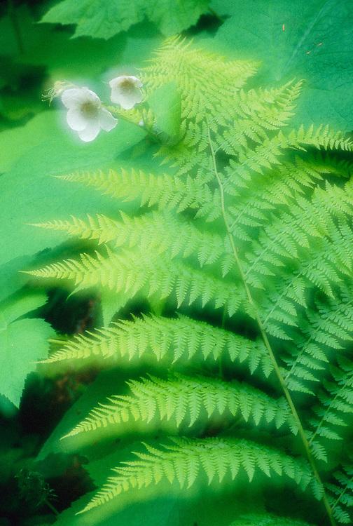 Bracken fern and thimbleberry, Olympic Peninsula, Washington, USA