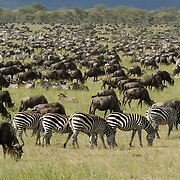 Wildebeest (Connochaetes taurinus) during migration near calving area in Serengeti National Park, Tanzania, Africa