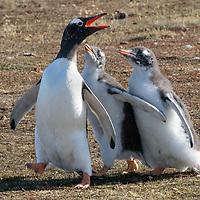 Pygoscelis papua, Bleaker Island, Falkland, February 2019