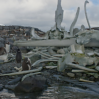 Gentoo Penguins stand and preen amongst bones from whales harvested near Wiencke Island, Antarctica.