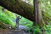 A hiker fakes lifting a huge diameter fallen tree. Goat Lake trail is in Henry M. Jackson Wilderness (Trail #647), east of Barlow Pass, in Mount Baker-Snoqualmie National Forest, in the Central Cascades, accessed from the Mountain Loop Highway, Washington, USA.