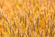 Ripe wheat crop in the Marne Valley, Champagne-Ardenne, France