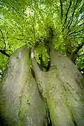 Common Beech Tree, Fagus sylvatica, Yockletts Bank, Kent, UK - Kent Wildlife Trust, old tree, looking up large trunk to canopy of leaves