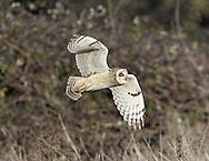 Short-eared Owl - Asio flammeus