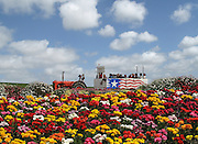 The Flower Fields in Spring at Carlsbad Ranch
