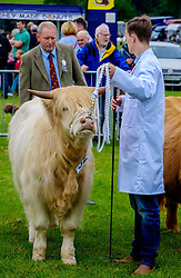 Biggar, South Lanarkshire, Scotland 23 July 2016<br /> <br /> Judging highland cattle in the show ring.<br /> <br /> (c) Andrew Wilson | Edinburgh Elite media