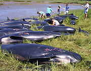 Researchers from the Whale Center of New England, National Aquarium in Baltimore and the Cape Cod Stranding Network take measurements and perform necropsies on euthanized pilot whales after a large group of whales stranded for the third time in  Fresh Brook Bay in Wellfleet, Ma.