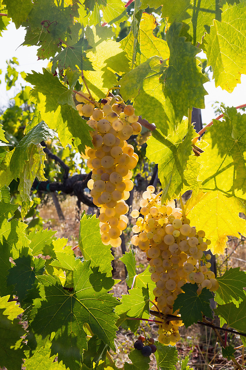 Close-Up of growing grapes on Vine, Val di Pesa, Tuscany, Italy