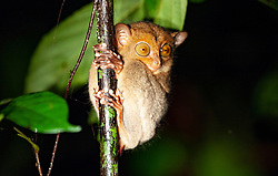 A western tarsier is pictured in Danum Valley Conservation Area, on August 5, 2019 near Lahad Datu city, State of Sabah, North of Borneo Island, Malaysia. Palm oil plantations are cutting down primary and secondary forests vital as habitat for wildlife including the critically endangered western tarsier primates. Photo by Emy/ABACAPRESS.COM