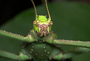 Jungle Nymph, Heteropteryx Dilatata, stick insect, green, camouflaged, Phasmid, close up showing face, portrait