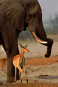 Impala (Apyceros melampus) female and african elephant (Loxodonta africana). Chobe National Park, Botswana, Southern Africa