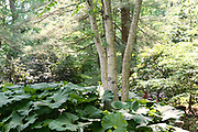 Birch trees, Chanticleer Gardens, Church Road, Wayne, Chester Co,. Main Line, PA
