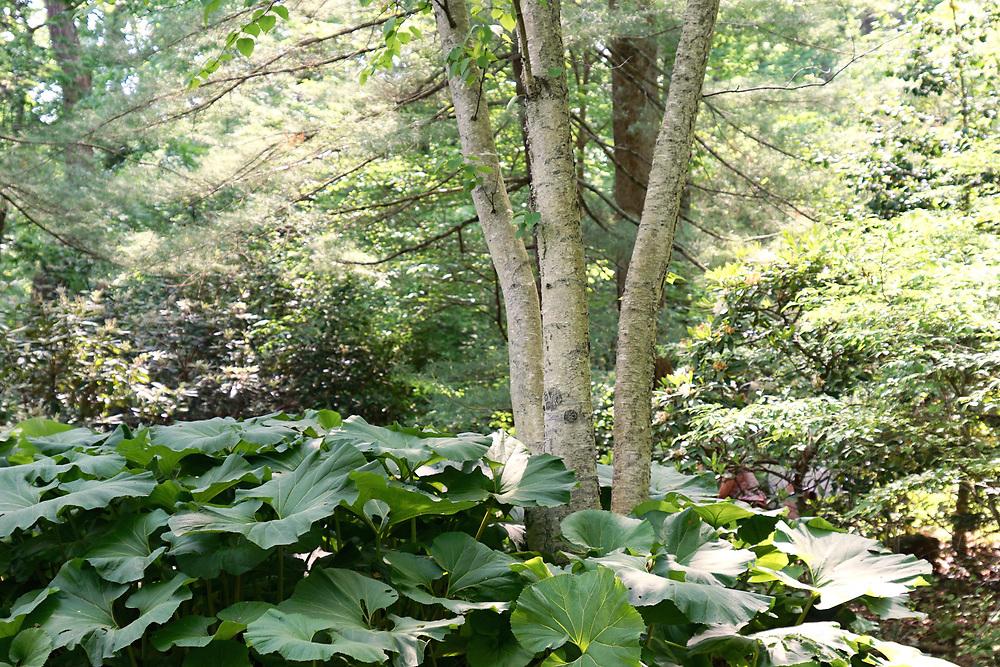 Birch trees, Chanticleer Gardens, Church Road, Wayne, Chester Co,. Main Line, PA