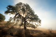 Luminous Oak along Coleman Valley Road, Sonoma County, California