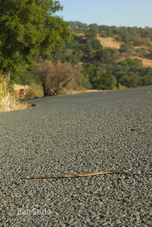 Pacific gopher snake, Pituophis catenifer catenifer, killed by a car on North Gate Road, Mount Diablo State Park, California