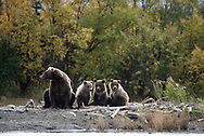 Bear 482 and her three spring cubs along the banks of the Brooks River in Alaska