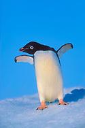 Adelie Penguin (Pygoscelis adeliae) on ice floe off Paulet Island, Weddell Sea, Antarctic Peninsula