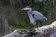 A Great Blue Heron (Ardea herodias fannini) on a log in a small pond at Devonian Harbour Park, near Coal Harbour and Stanley Park in Vancouver, British Columbia, Canada.